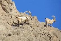 طرح سرشماری پستانداران منطقه خرمنه سر شهرستان طارم آغاز شد