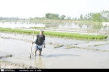 معاون وزیر:حفاظت و بهره برداری از زمین های کشاورزی شمال ،اولویت وزارت جهاد کشاورزی است