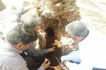 مشاهده آفت سرخرطومی خرما در سه روستای منوجان