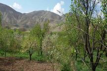 سرمای بهاره به محصولات باغی زنجان خسارت زد