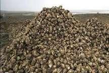 افزایش 100 درصدی تولید چغندر قند در مزارع جغتای