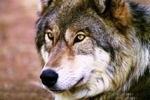 گرگ های لارستان قربانی خرافات شده اند