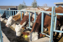طرح توسعه نژاد سمینتال در راستای افزایش تولید گوشت قرمز انجام شد
