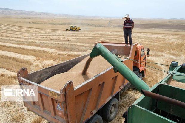 کشاورزان ایلامی دومین محصول گندم با کیفیت کشور را تولید کردند