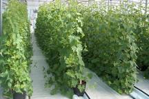 2 هزار و 700 تن محصول گلخانه از ابرکوه به بازار مصرف عرضه شد