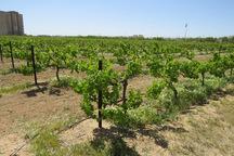 کارشناسان کشاورزی ارومیه از باغ های تاکستان بازدید کردند