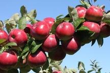 بیش از 16 هزار تن سیب درختی از باغ های نیشابور برداشت شد