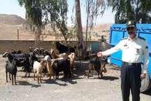 سارق احشام عراقی در دام پلیس ایلام افتاد