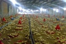 225 تن گوشت سفید در گچساران تولید شد