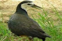 طاووسک سینه سفید میناب در کمیته ملی ثبت پرندگان ثبت شد