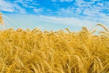 80 درصد مزارع گندم دیم   گچساران خسارت دید