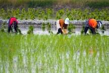 ارقام جدید برنج برای کشت در شمال کشور معرفی شد