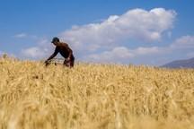 بیش از4700 میلیارد ریال از مطالبات گندم کاران استان پرداخت شده است