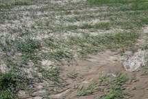 2450 میلیارد ریال به بخش کشاورزی خراسان شمالی در سال 95 خسارت وارد شد