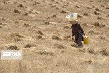 کشت دیم بزرگترین مشکل بخش کشاورزی بیجار است