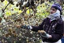 آغاز برداشت کیوی از 520 هکتار باغ های آستارا