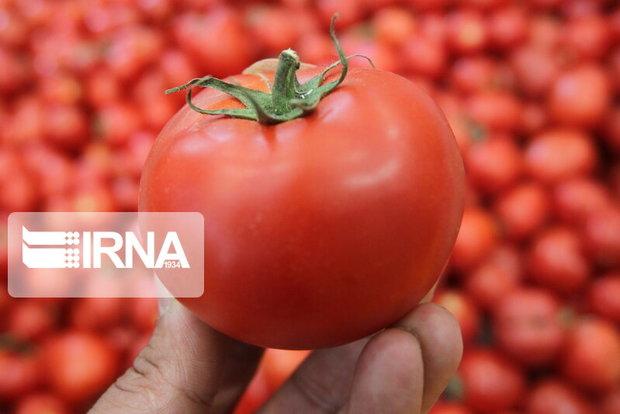 کشت گوجه فرنگی در صدر محصولات جالیزی جنوب کرمان