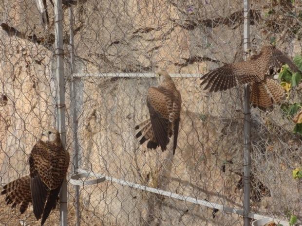 محموله بزرگ قاچاق پرندگان شکاری در لرستان کشف شد