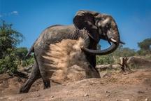 عکس روز نشنال جئوگرافیک، حمام خاک فیل