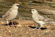 40 گونه پرنده آبزی در شیروان مشاهده شدند
