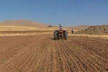 گندم در ۶۰۰ هکتار از زمینهای کشاورزی خاش کشت شد