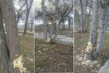 سارق درختان پارک جنگلی در مشگین شهر دستگیر شد