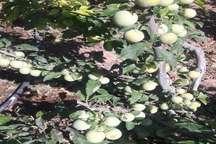 پرورش درختان پایه کوتاه در باغ جادویی همدان