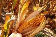 115 هزار تن محصول ذرت در اندیمشک برداشت شد