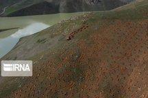 ۱۵۰ هکتار از مراتع سقز جنگلکاری میشود
