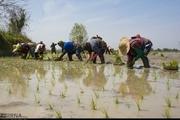 انجام اولین نشاء برنج در اراضی آستانه اشرفیه