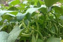 مبارزه بیولوژیک در 100 هکتار از مزارع بویراحمد انجام شد