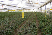 کشت گوجه فرنگی در سطح 5200 هکتار از زمینهای کشاورزی دیر