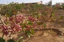 سطح کشت پسته در استان اردبیل افزایش یافت