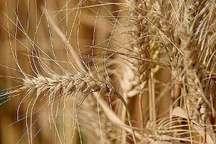 پیش بینی خرید 105 هزار تن گندم از کشاورزان در قروه
