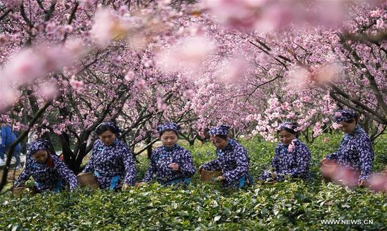 عکس/ موسم چای چینی