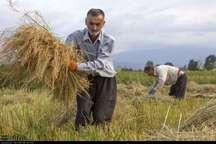 تولید محصول برنج در گیلان تا 15 درصد افزایش یافته است
