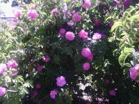 نخستین جشنواره گلابگیری در رفسنجان آغاز به کار کرد