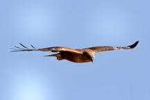 یک پرنده شکاری تحویل محیط زیست جیرفت شد