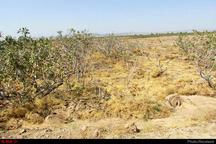نابودی 98 درصدی باغات پسته رفسنجان  زندگی کارگران منطقه بحرانی است  ضرورت حمایتهای دولت و شرکتهای بیمه از باغداران