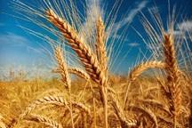 بوکان رتبه نخست تولید گندم در آذربایجان غربی را کسب کرد