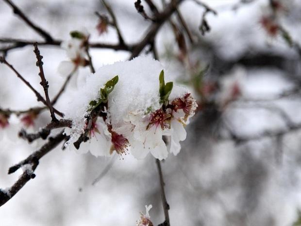 برف زمستانی شکوفه های بادام را زمین گیر کرد