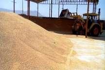 فرماندار: 60 هزار تن گندم در رودبار جنوب تولید شد