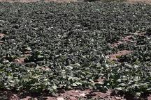 سرما 820 میلیارد ریال به محصولات زراعی زنجان خسارت زد