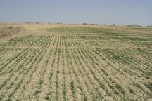 گندم و جو در 13هزار هکتار مزارع استان یزد کشت شد