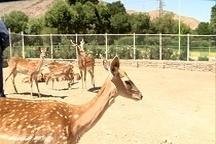 تولد گونه نادر گوزن زرد ایرانی در پارک وحش اراک