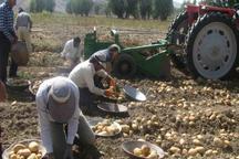 سیب زمینی در 20 هزار هکتار از اراضی اردبیل کشت می شود