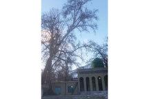 ثبت درخت کهنسال روستای فلار الموت در فهرست  آثار ملی طبیعی