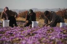 خرید توافقی زعفران در خراسان جنوبی با هدف کاهش واسطه گری