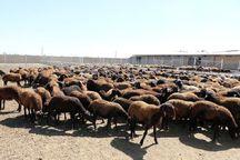 آغاز طرح ژندار کردن گوسفندان عشایر شیروان
