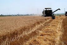 38 هزار تن گندم در گیلانغرب برداشت شد